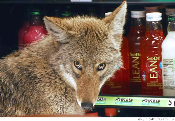 ba_urban_coyotes2.jpg