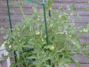 GAM_tomato6